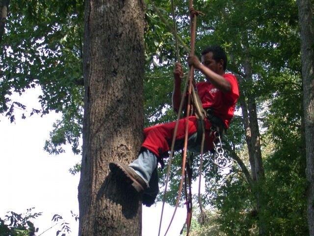 tree removal done by tree climber